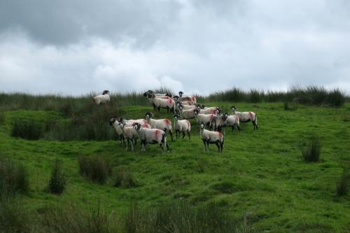 PW5 leg 1 even the sheep are unhappy