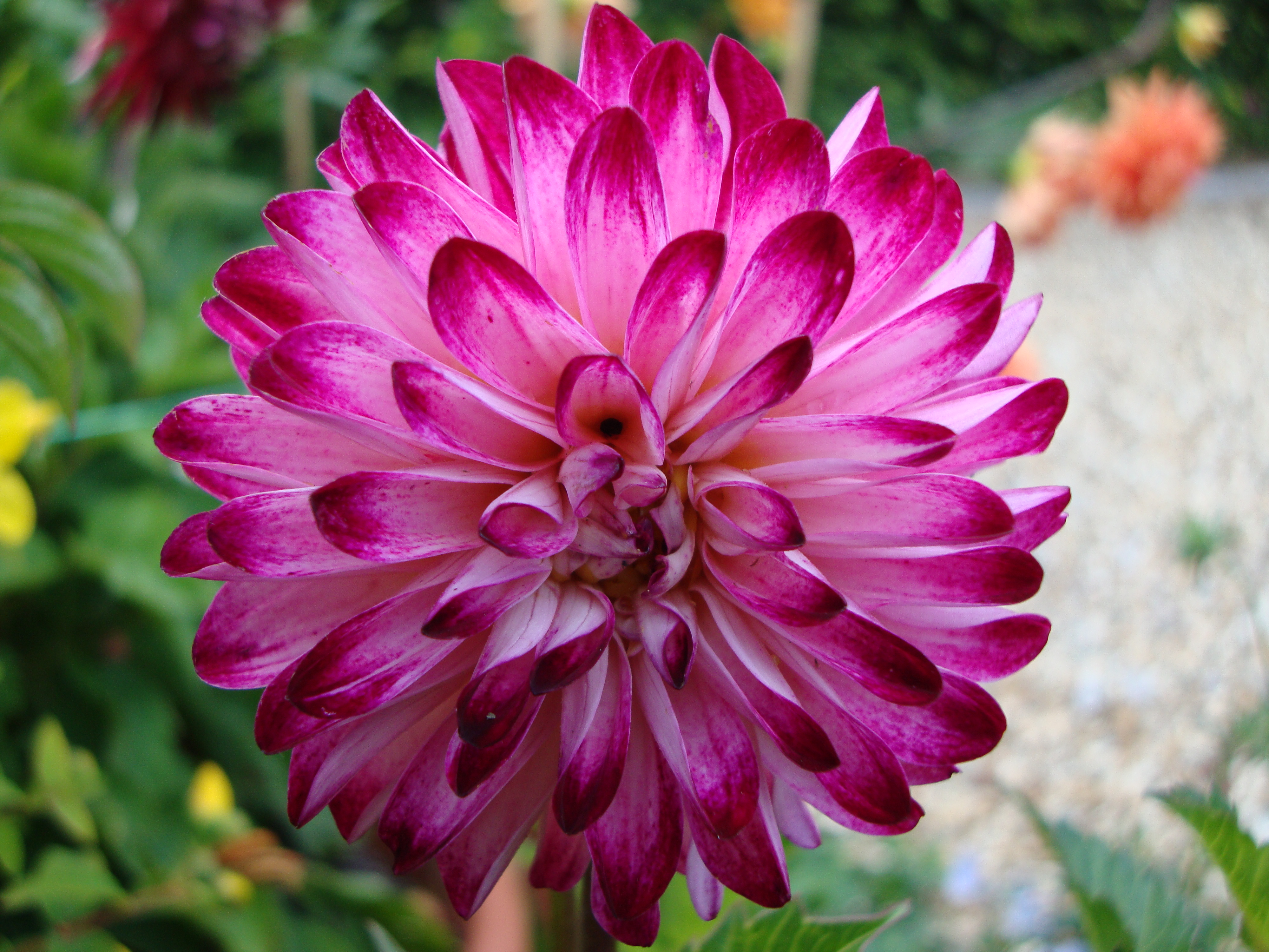 Dahlia two chances veg plot blog this izmirmasajfo