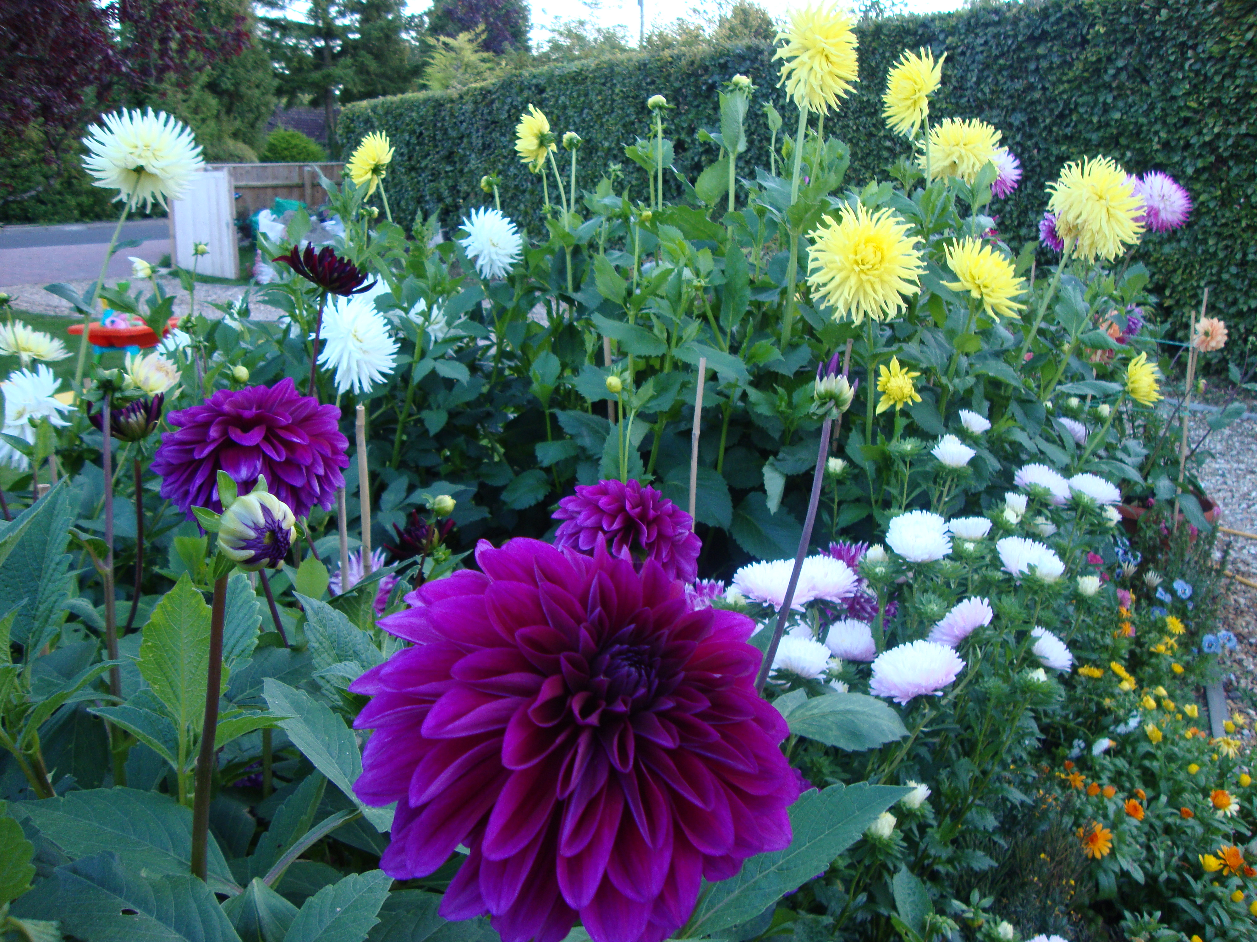 How to Grow Dahlias in Pots (with Pictures) - wikiHow Pictures of dahlias in pots