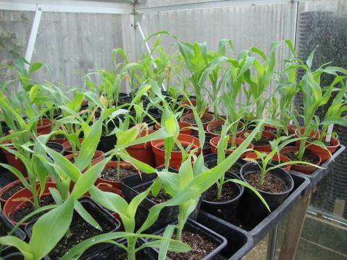 Как посадить рассаду кукурузы 98