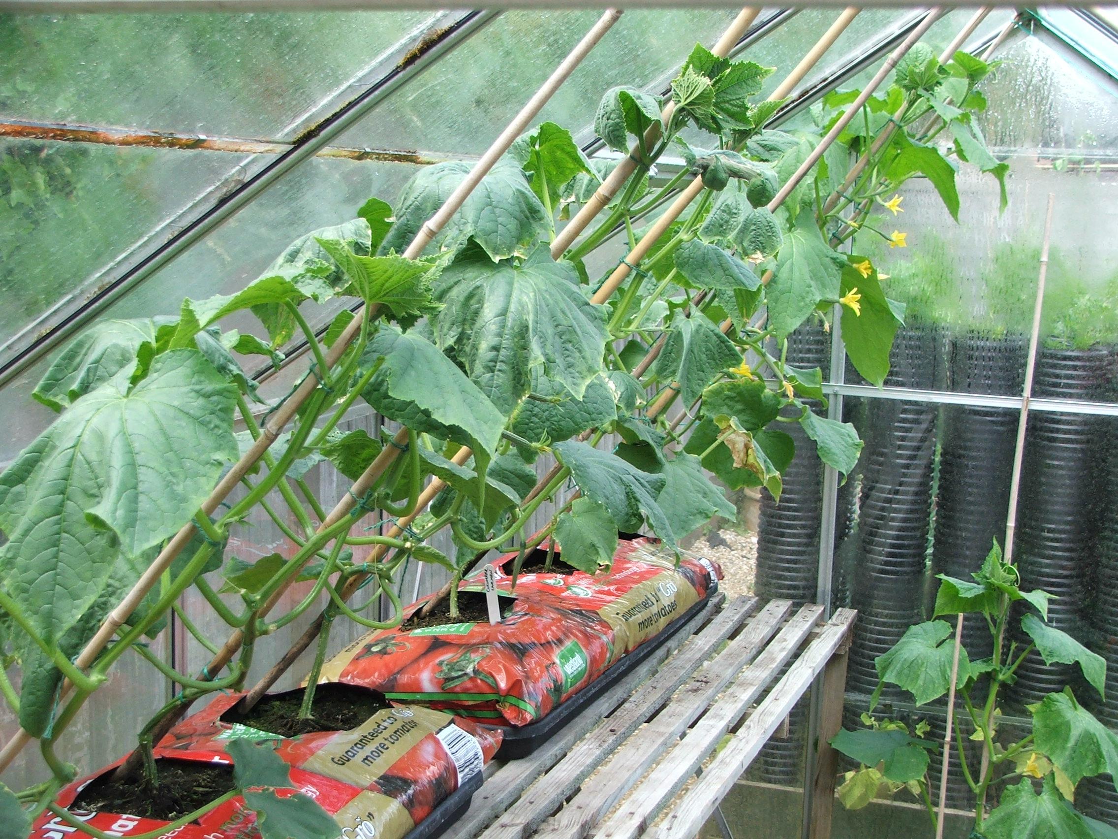 Огурцы : что можно посадить в одной теплице вместе с овощем 18
