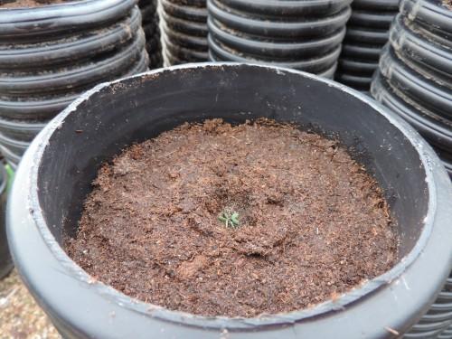 parsnip seeds