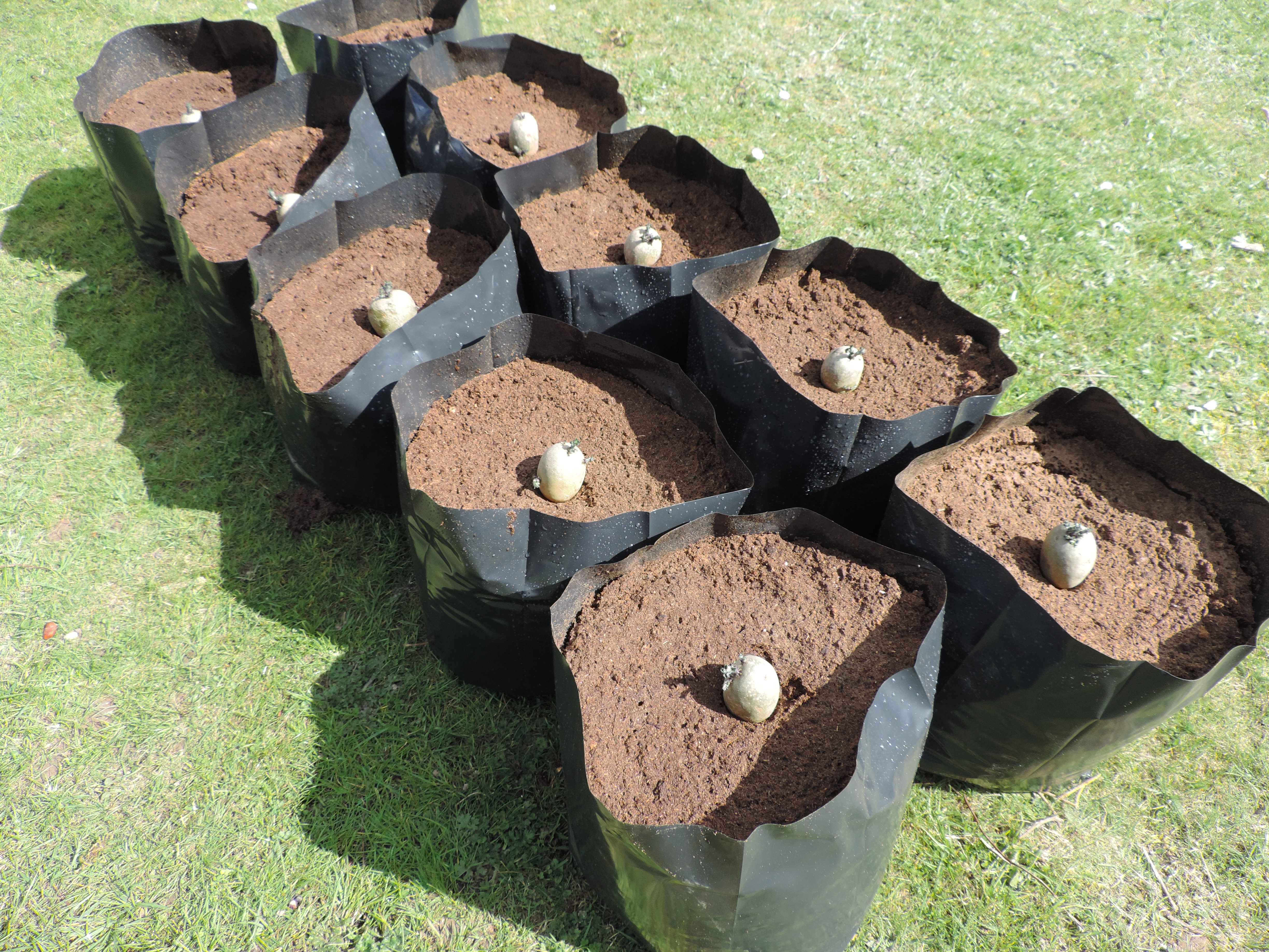how to grow potatoes in a bag bin