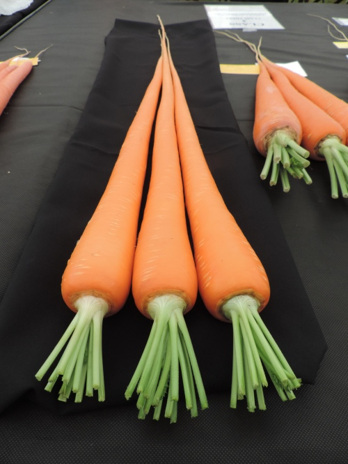Damo Long Carrot Set 2014