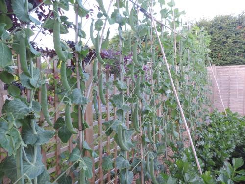 peas July 2015 (1)